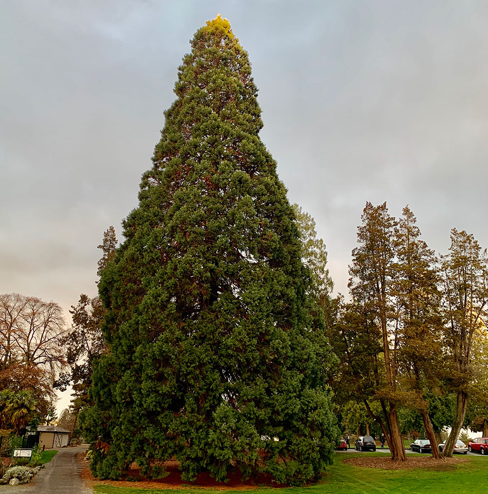 Tree-dimensional-Tacoma-Giant-Sequoia