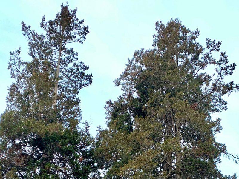Plume-Sawara-Cypress-Wright-Park-Tacoma