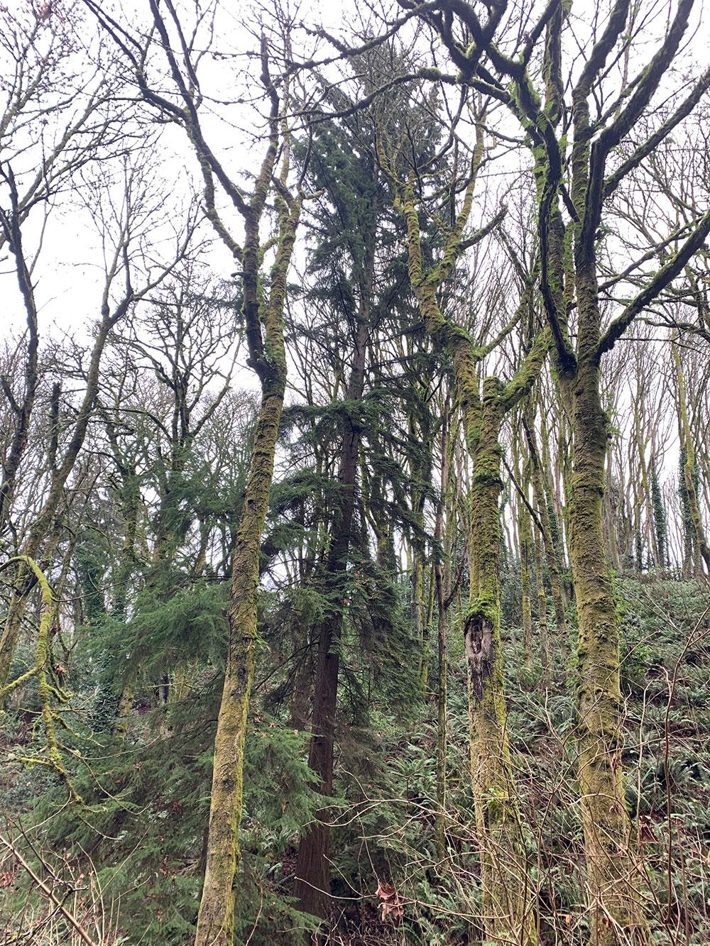 Tree-dimensional-Tacoma-Western-Red-Cedar