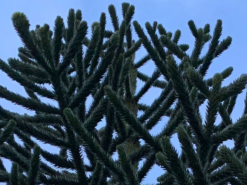 Monkey-Puzzle-Tree-Ruston