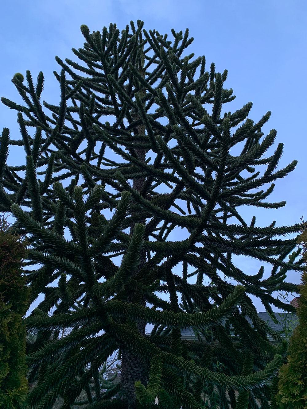 Tree-dimensional-Tacoma-Monkey-Puzzle-Tree