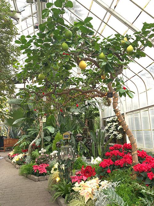 Tree-dimensional-Tacoma-Ponderosa-Lemon-Hybrid