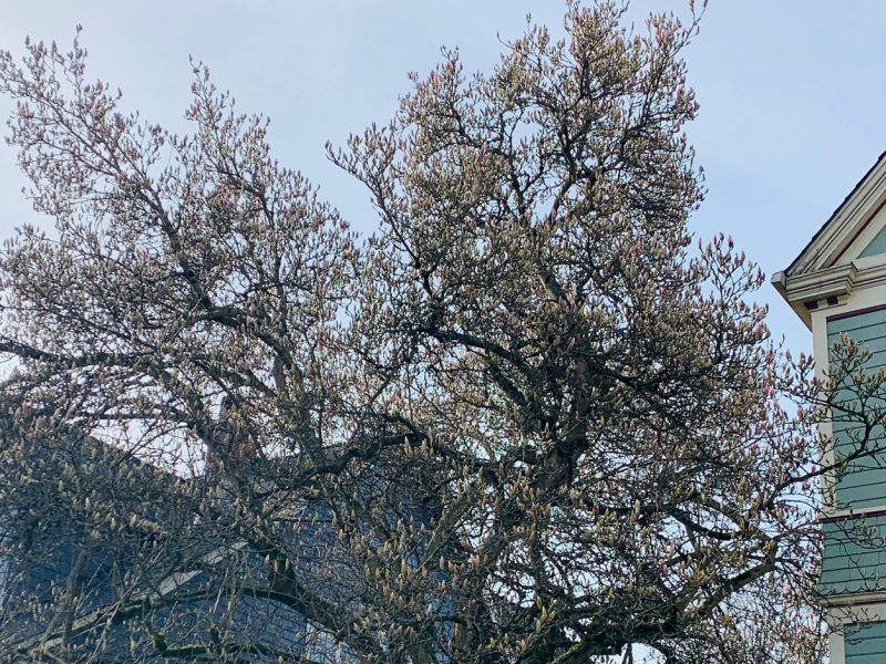 Magnolia-trees-Tacoma