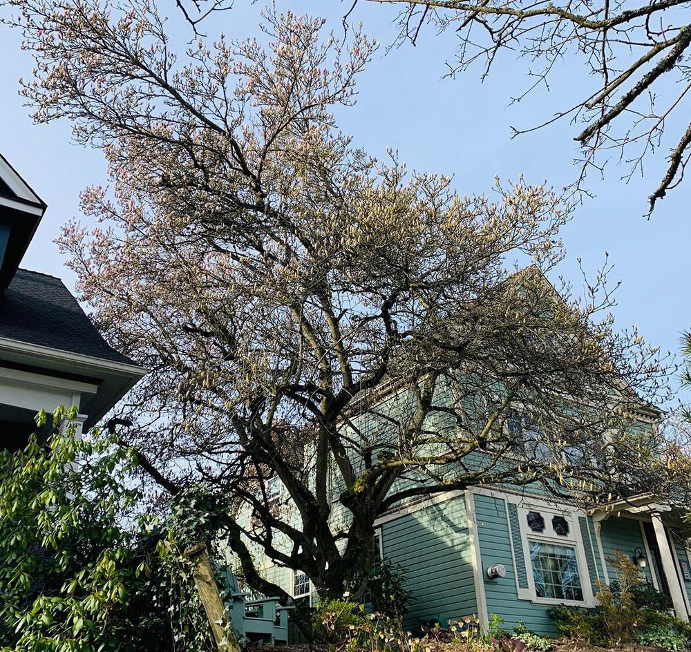 Tree-dimensional-Tacoma-Magnolias