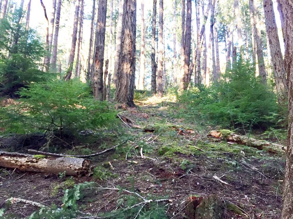 Tree-dimensional-Tacoma-Western-Hemlock