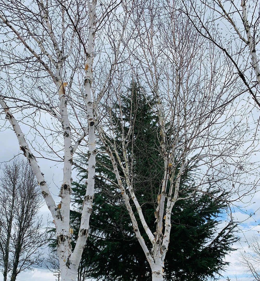 Tree-dimensional-Tacoma-birch-trees