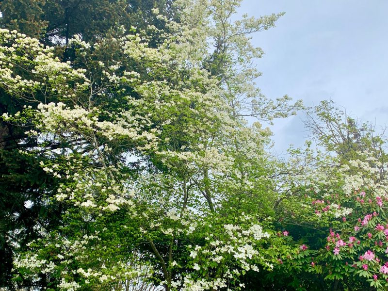 Flowering-Dogwood-Tacoma
