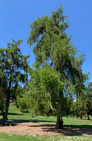 Tree-dimensional-Tacoma-Dunkeld-Larch