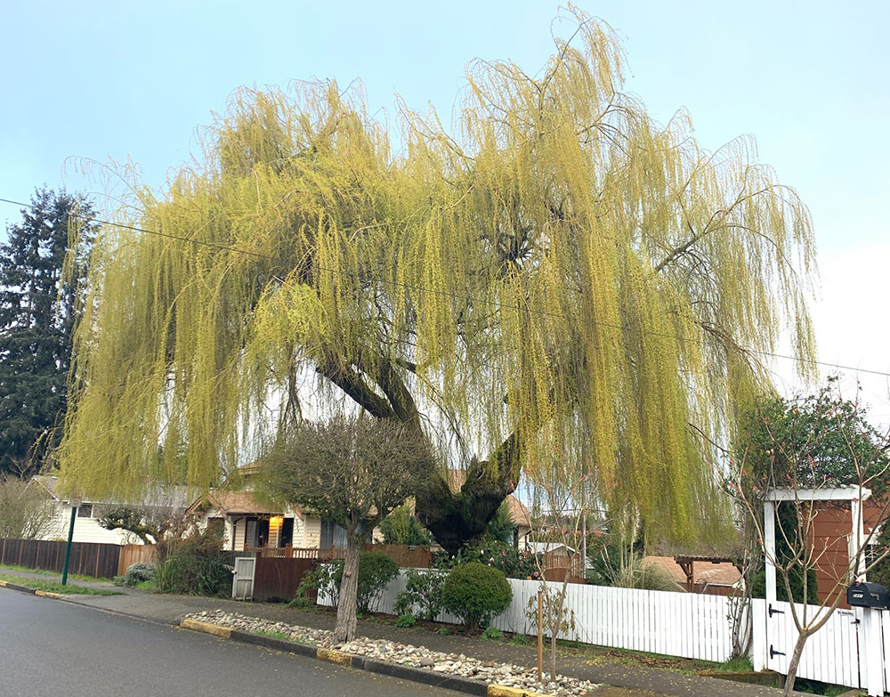 Tree-dimensional-Tacoma-Weeping-Willow