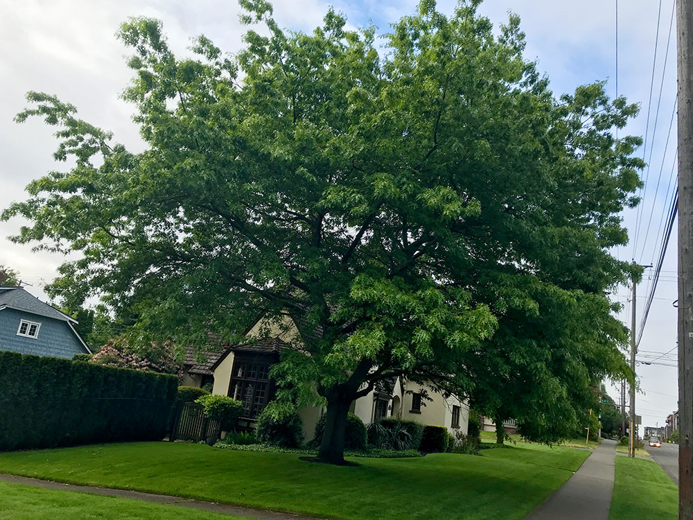 Tree-dimensional-Tacoma-Scarlet-Oak