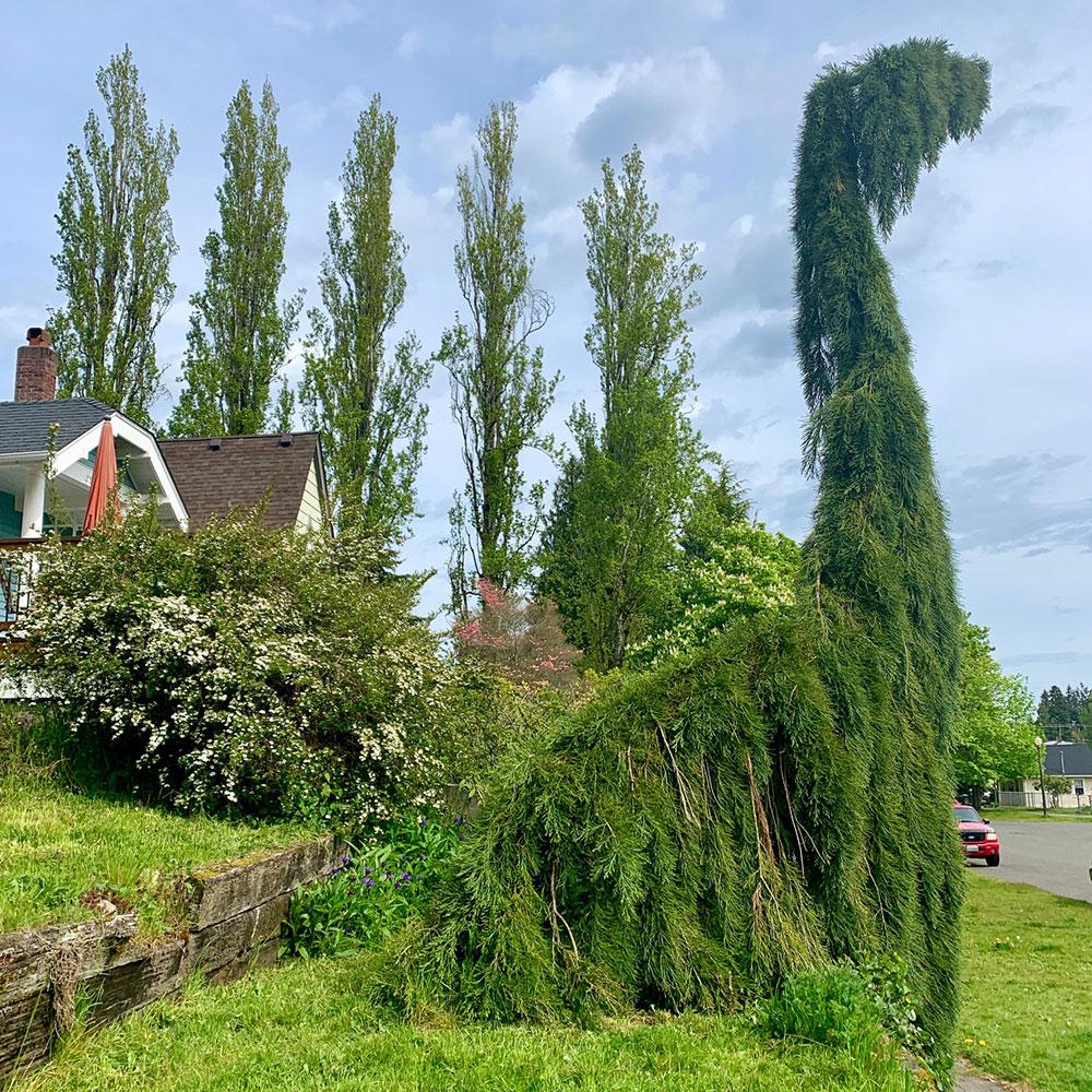 Tree-dimensional-Tacoma-Sequoiadendron-Giganteum-Pendulum