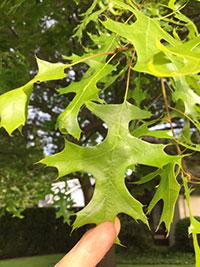 scarlet-oak-leaf-tacoma