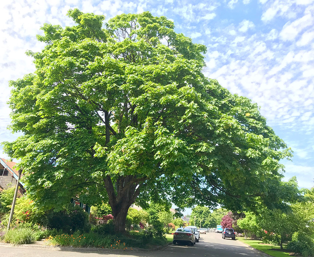 Tree-dimensional-Tacoma-Bigleaf-Maple
