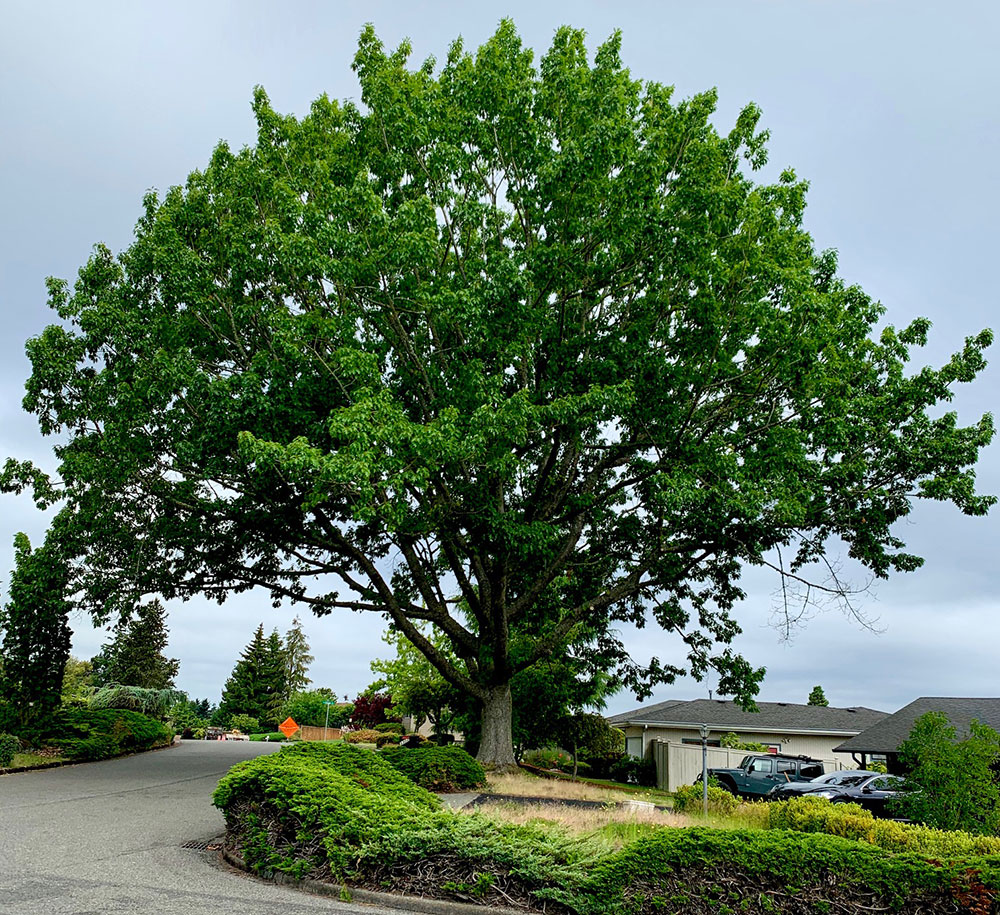 Tree-dimensional-Tacoma-Northern-Red-Oak