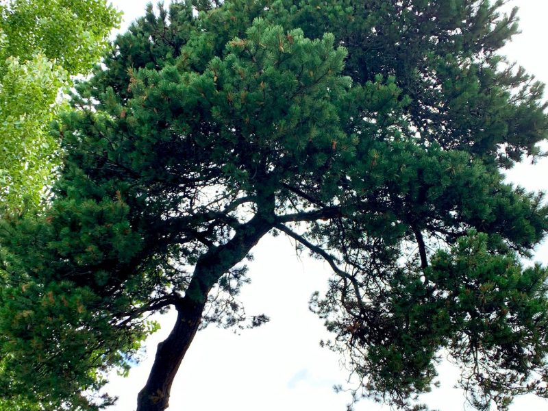 Austrian-Pine-Tacoma