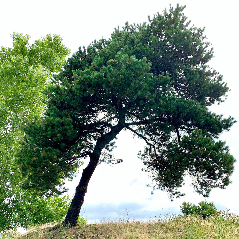 Tree-dimensional-Tacoma-Austrian-Pine