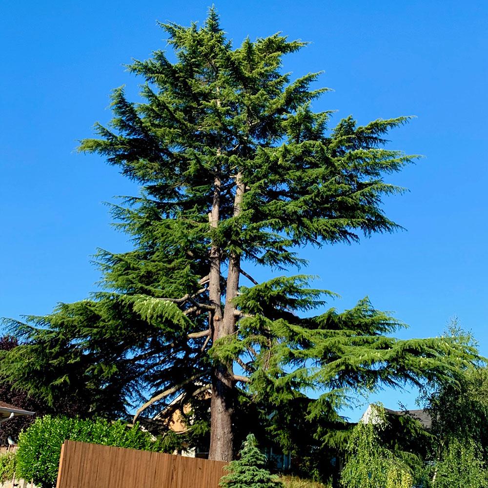 Tree-dimensional-Tacoma-Cedar-of-Lebanon