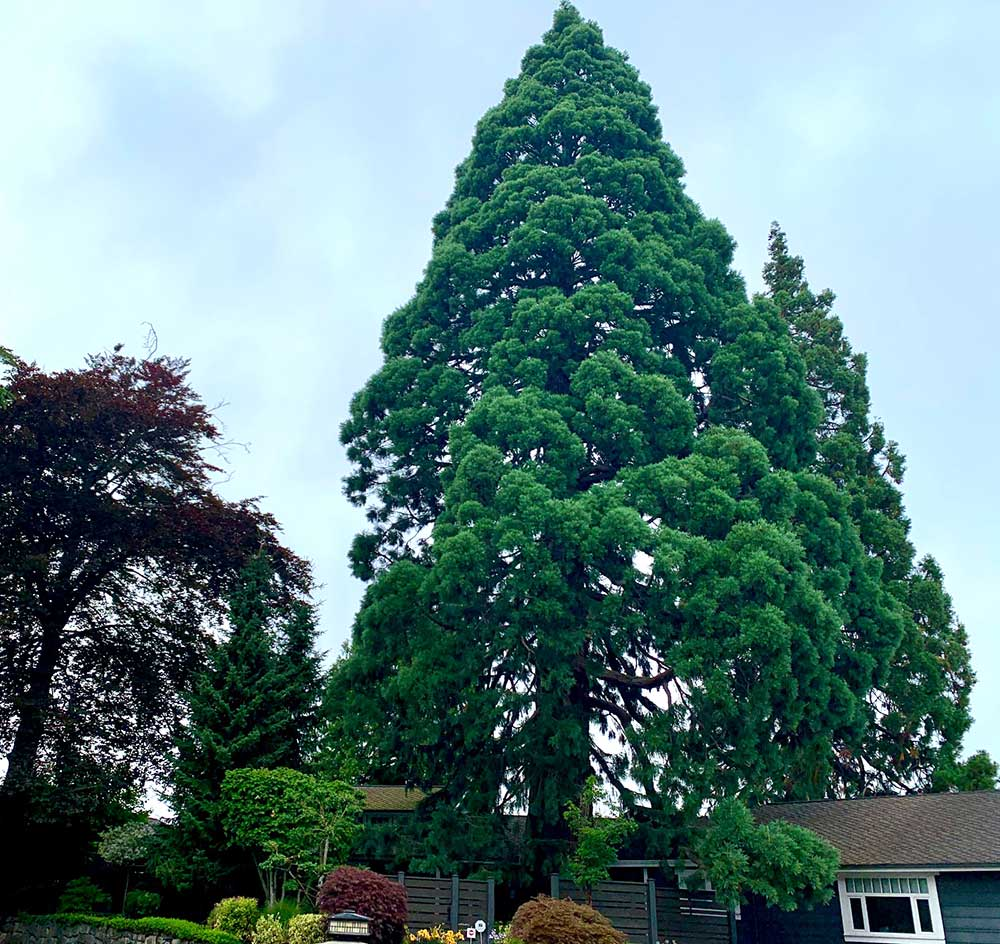 Tree-dimensional-Tacoma-Copper-Beech-and-Giant-Sequoia