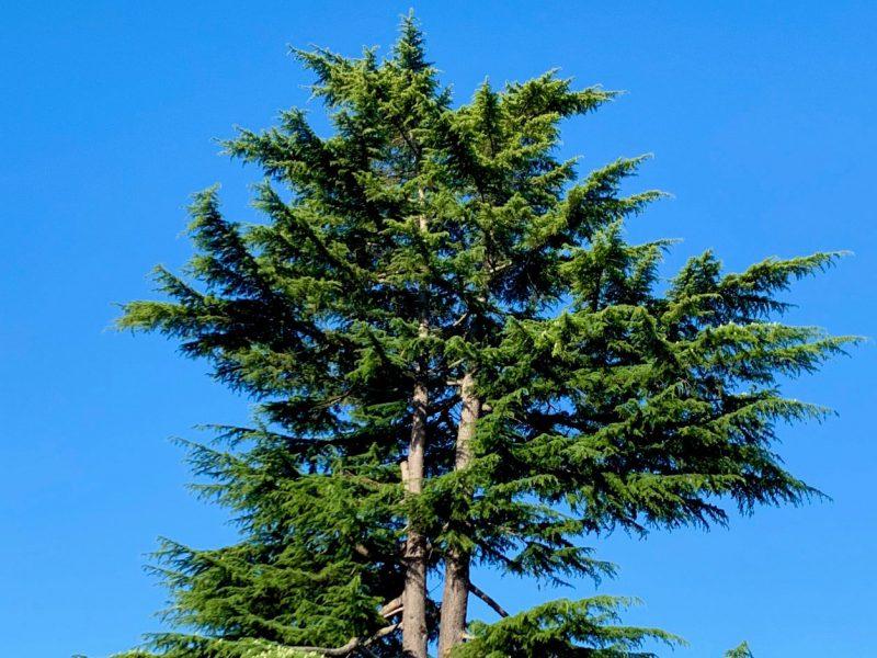 cedar-of-Lebanon-Tacoma