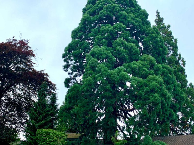 copper-beech-and-giant-sequoia-Tacoma