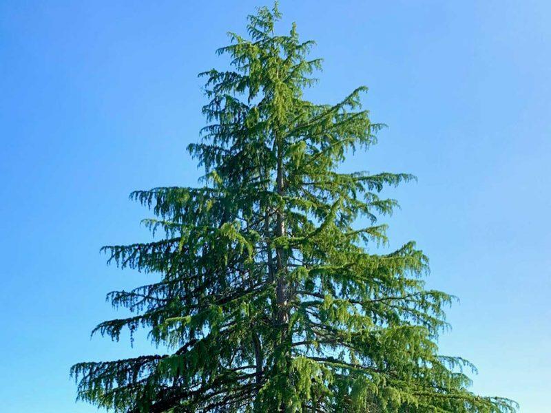 Deodar-Cedar-Titlow-Park-Tacoma