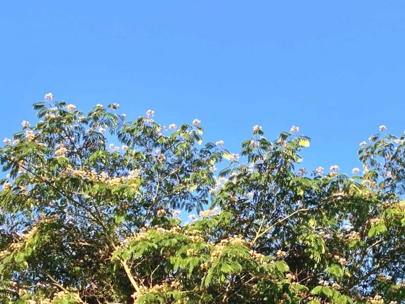 Mimosa-Tree-Tacoma