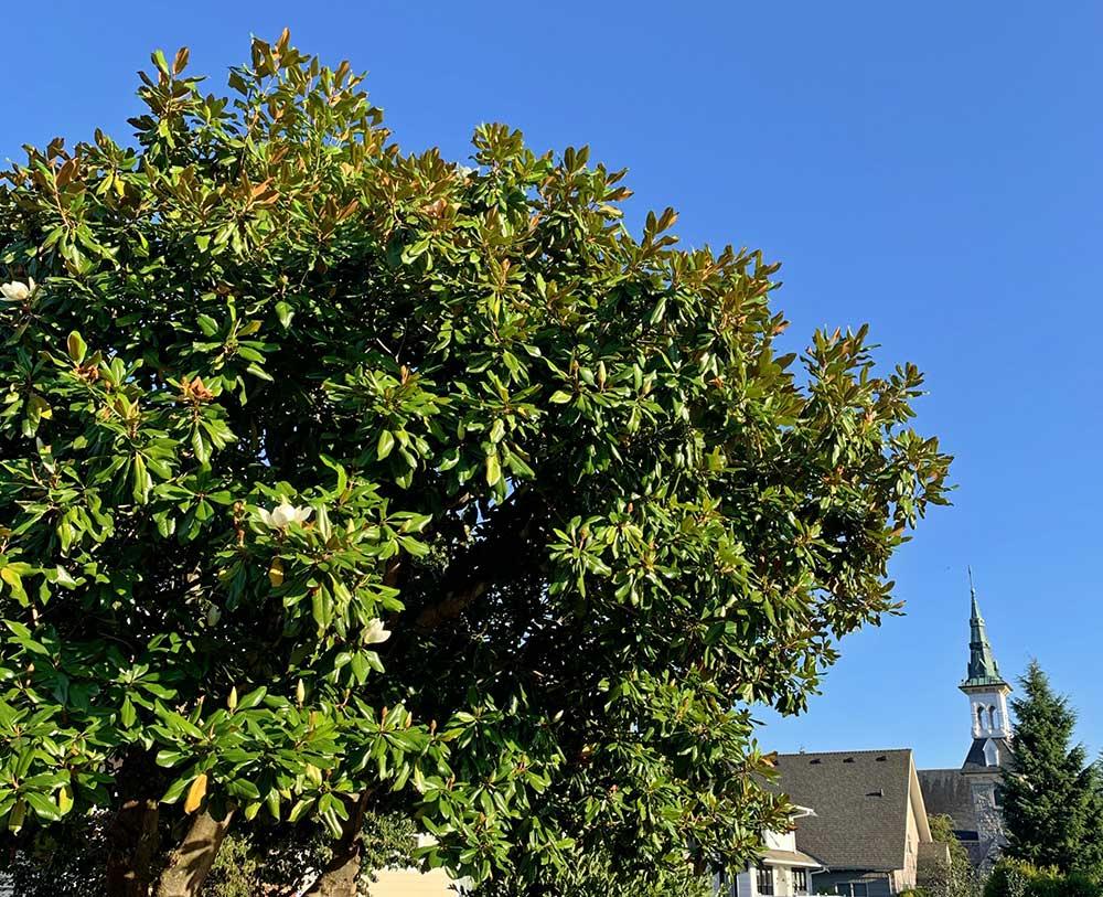 Tree-Dimensional-Tacoma-Southern-Magnolia
