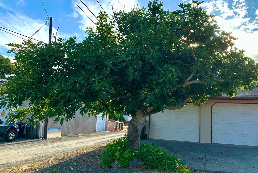 Tree-dimensional-Tacoma-Fig-Tree
