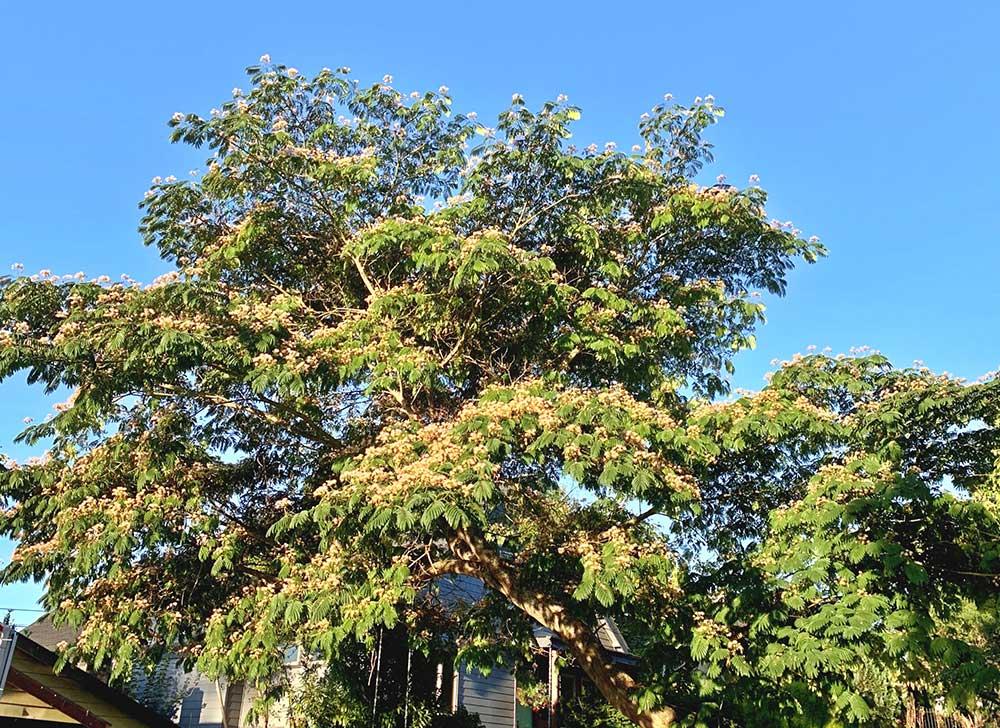 Tree-dimensional-Tacoma-Mimosa-Tree