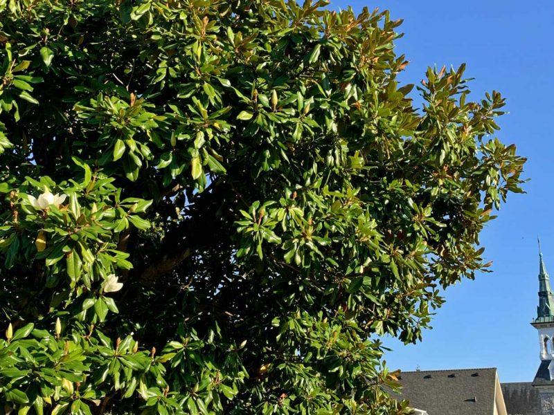 southern-magnolia-tacoma
